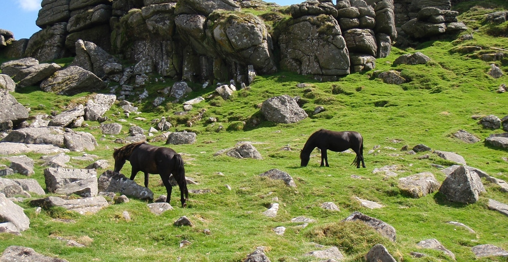 Free roaming ponies in Dartmoor, England